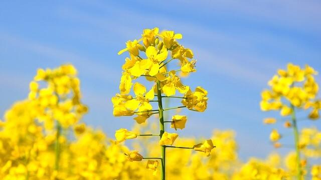 פרח הקנולה (לפתית)